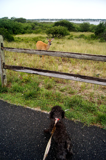 small dog staring down a deer