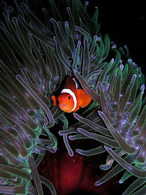 TheJungleStore.com | Clownfish and Sea Anemones