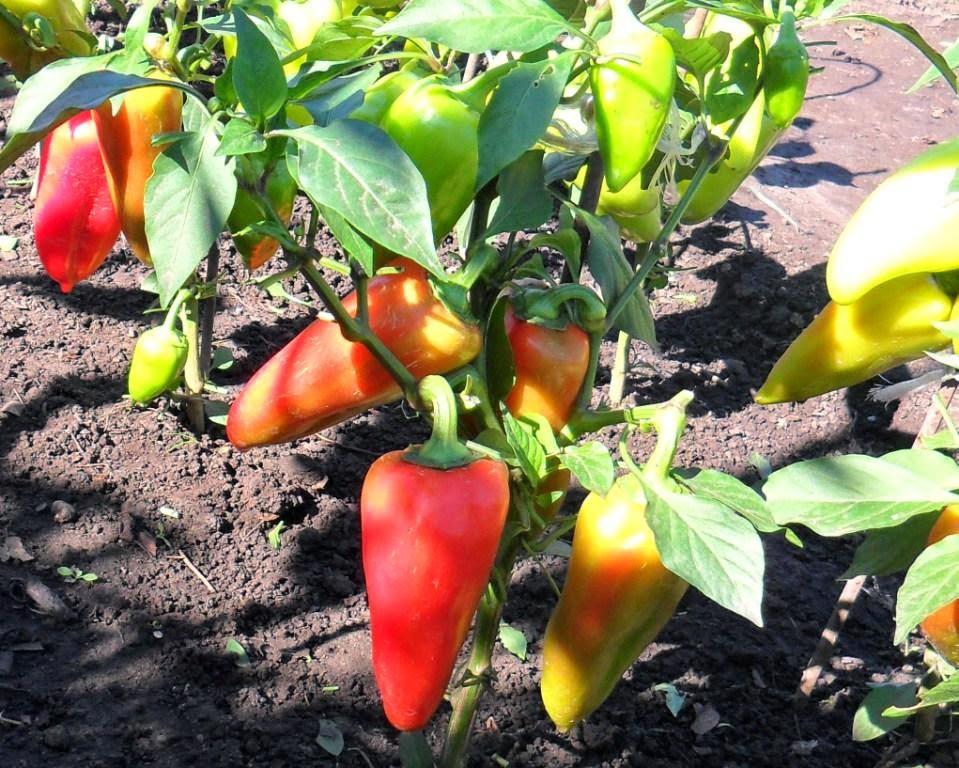 Урожай перцев в открытом грунте