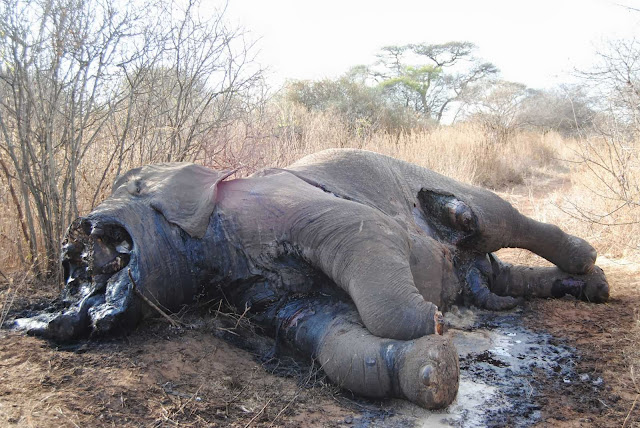 Tusks removed from a bull elephant killed by poachers