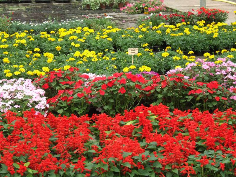 Arpej vente de plantes annuelles vivaces et potageres for Vente de plantes