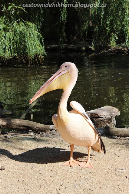 pelikán // a pelican