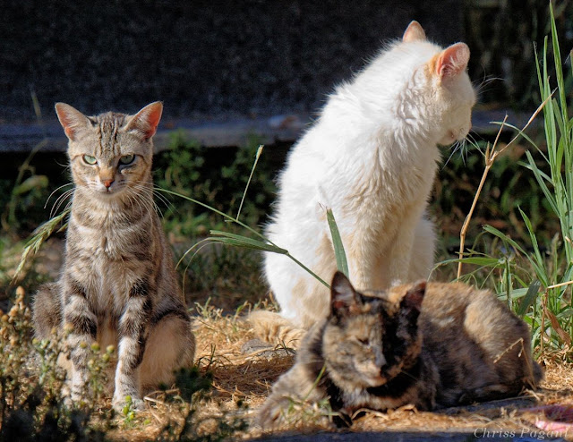 Gang of 3 feral cats, looking tough
