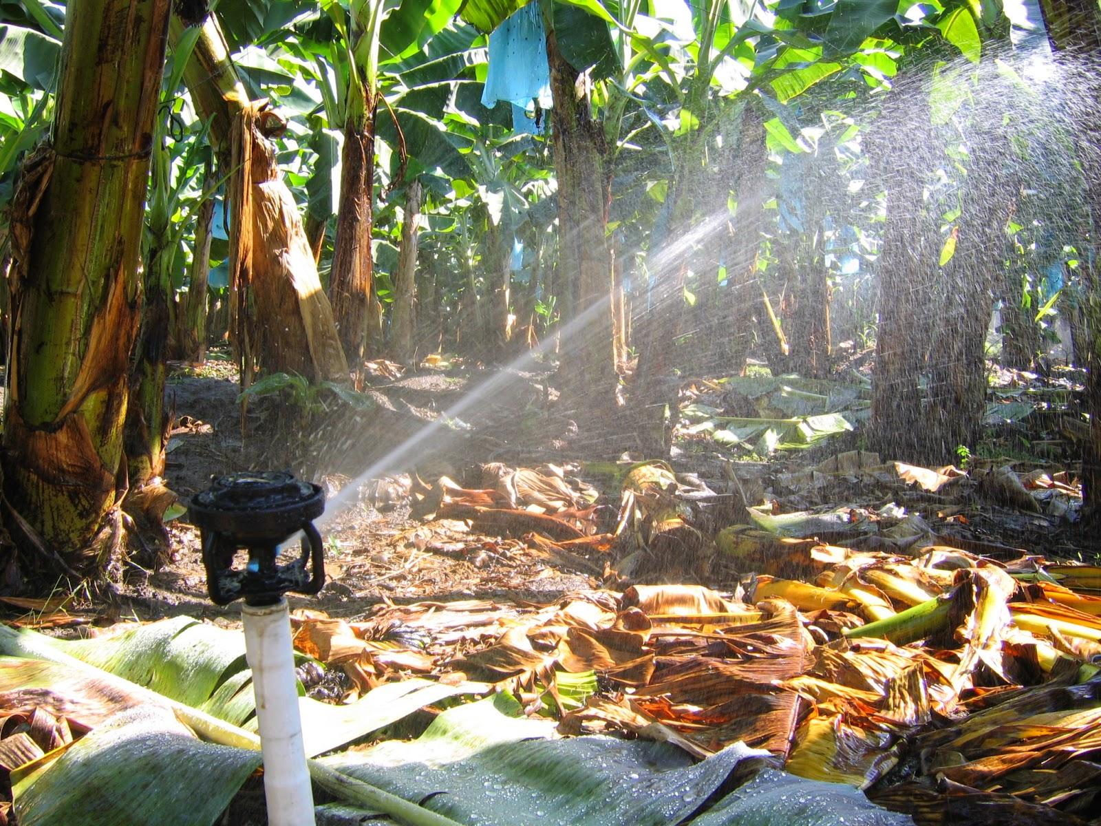 Béc tưới tự động LF2400 Rainbird tưới cây chuối