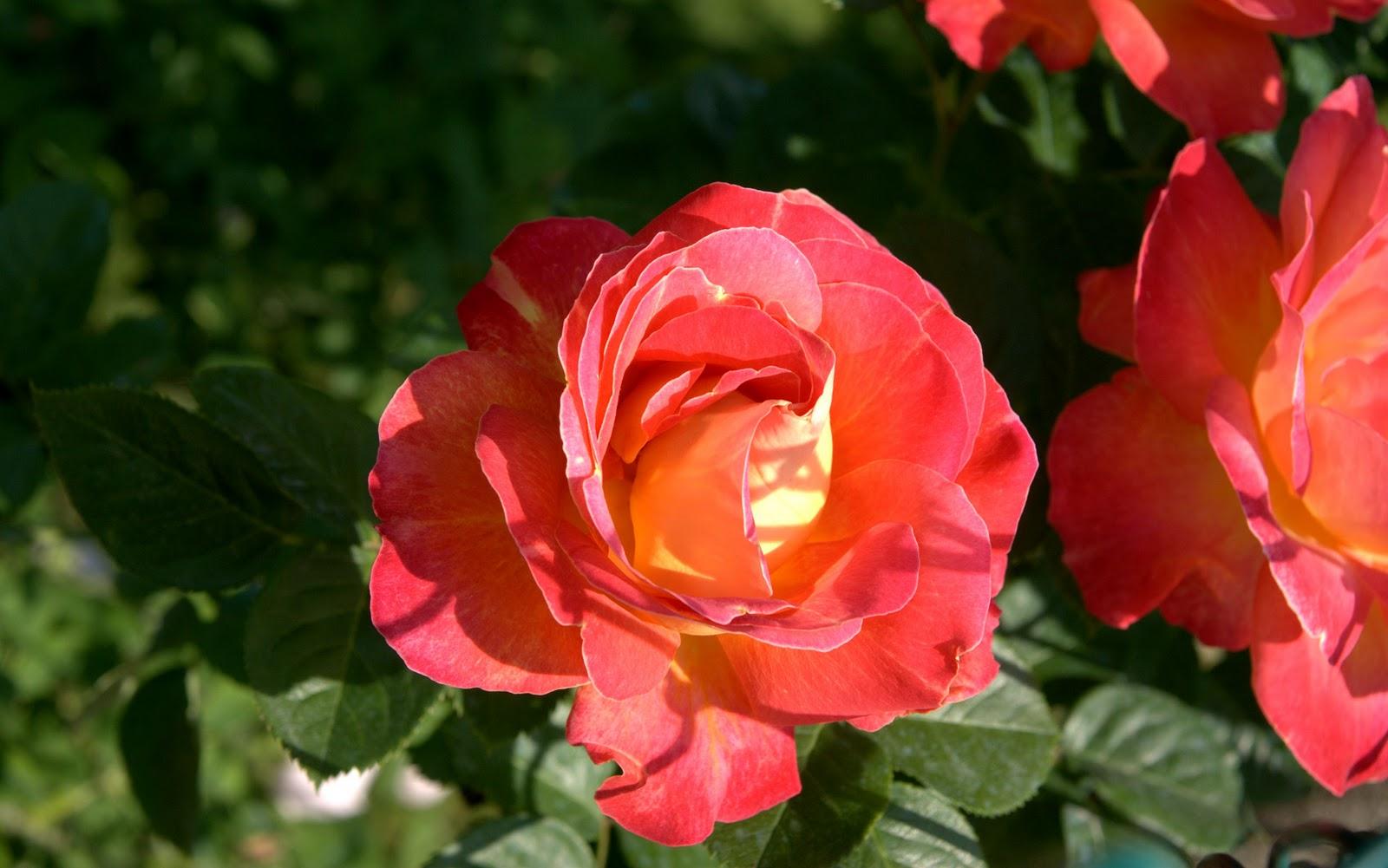 http://3.bp.blogspot.com/-xSFRon7g738/TtRc6rWewWI/AAAAAAAAAB4/dpNoifPRG34/s1600/amazing-crimson-rose-1920x1200-hd-wallpaper-photo-fabiovisentincom-dsc09558-3.jpg
