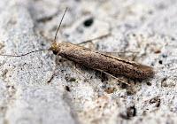 Latest New Micro Moth Species - Bedellia somnulentela