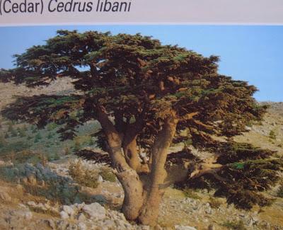 レバノンスギの画像 p1_8