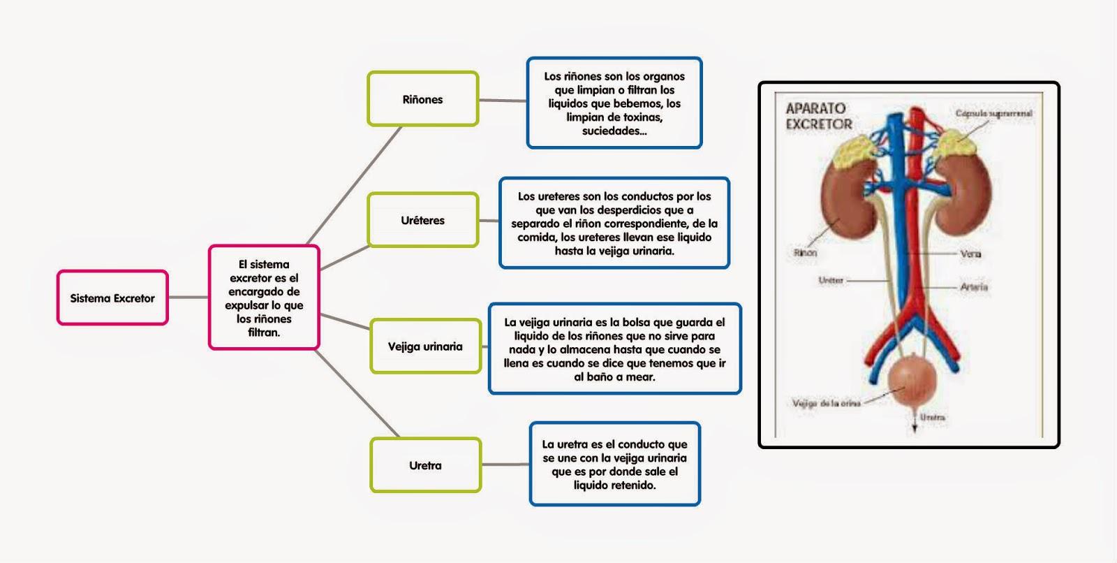 Famoso Diagrama De Sistema Excretor Colección de Imágenes - Anatomía ...