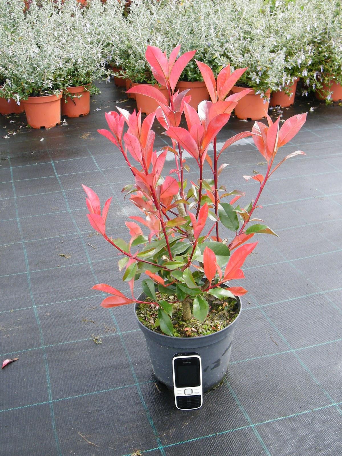 Vivero galiplant ornamental s l photinia x fraseri red - Photinia serrulata red robin ...