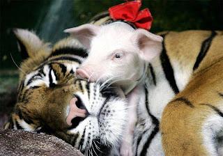 mãe adotiva: tigresa e porquinho