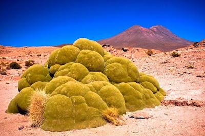 tanaman usia ribuan tahun
