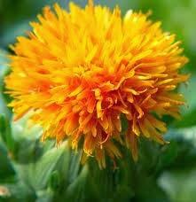 Bunga Safflower nutriferon shaklee