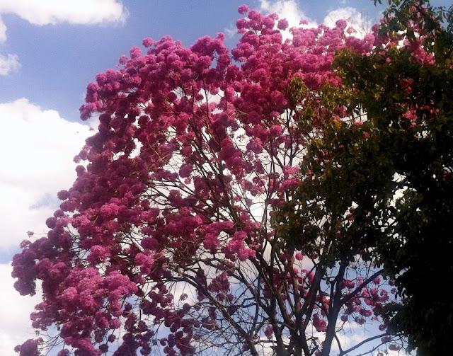 Ipê-bola-rosa com seus cachos de flores numa rua  do Jardim América em Goiânia