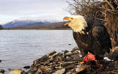 Bald Eagle Bird Pictures