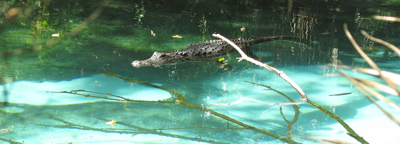 we visited a couple of florida u0027s most threatened springs today  above  an american alligator  alligator mississippiensis  lounges in fern hammock springs in     florida u0027s threatened springs   phillip u0027s natural world  rh   majikphil blogspot