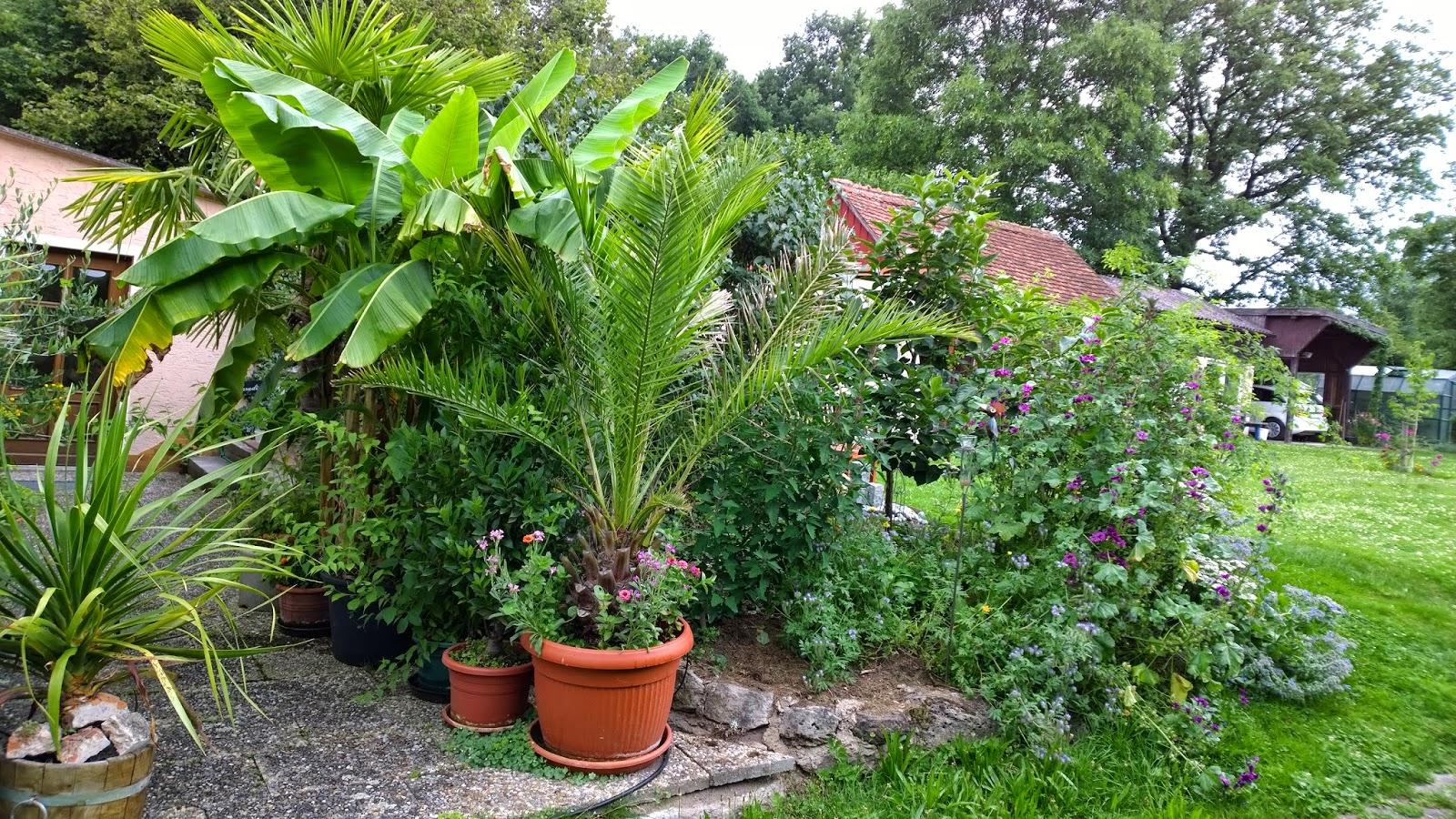 palmen f r terrasse palmen k belpflanzen usw f r garten und terrasse in palmen verschiedene. Black Bedroom Furniture Sets. Home Design Ideas