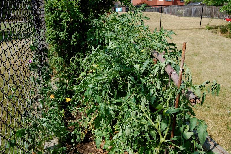 Astrid 39 s garden design novice tomato gardener Tomato garden design
