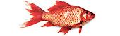 Kaçan Balık Büyük Olur