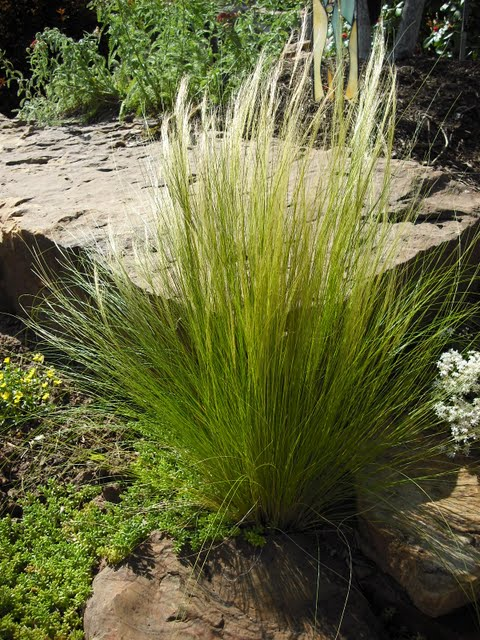 Firework fountain grass at home depot landscape plants for Ornamental feather grass