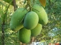 Meningkatkan hasil panen budidaya mangga dengan pupuk organik nasa