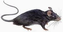 Significado de Sonhar com Ratos