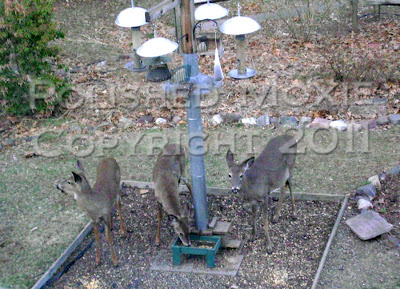 Picture of three deer in a bird feeding area