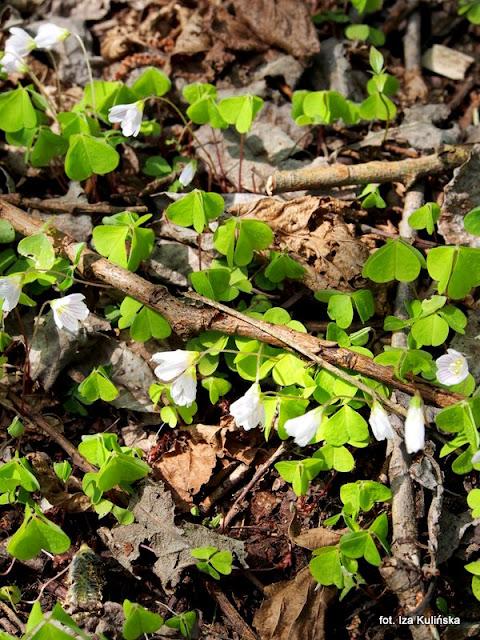 szczawik zajęczy , orawa , wiosna , kwiaty