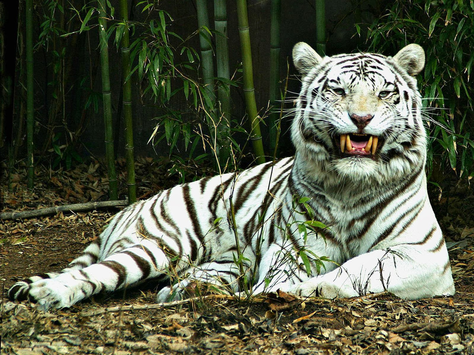 white tiger animal wallpaper - photo #5