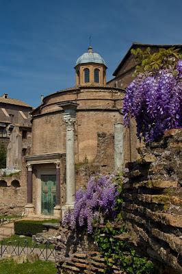 wisteria glicine foro romano roman forum