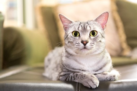 Egipskie koty
