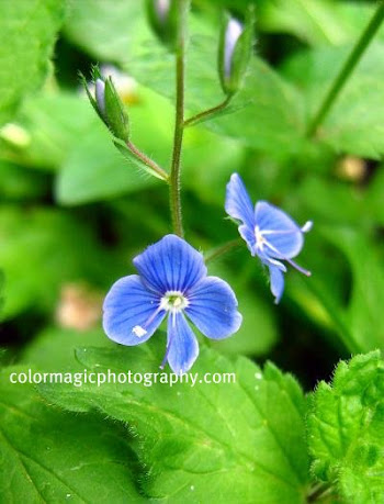 Bird's-eye speedwell-Veronica persica