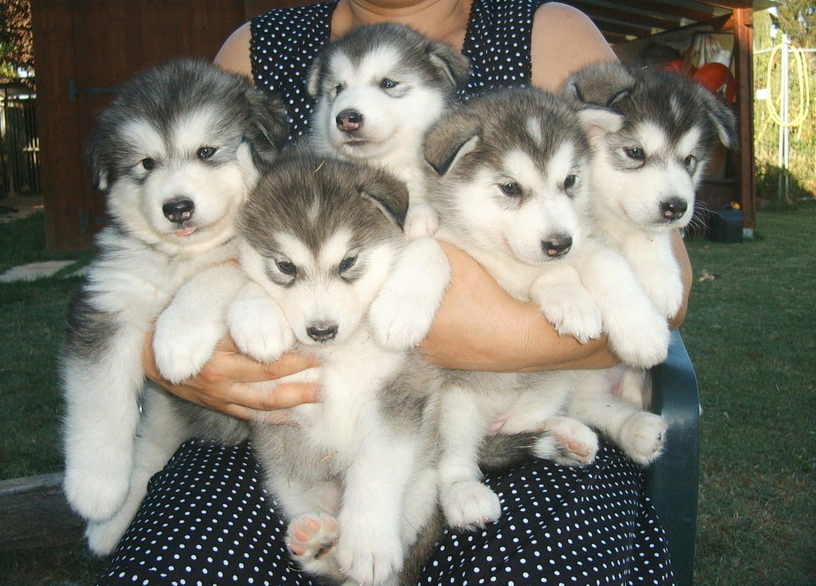 Alla Ricerca Del Siberian Husky Cerco Cucciolo Di Razza In Regalo