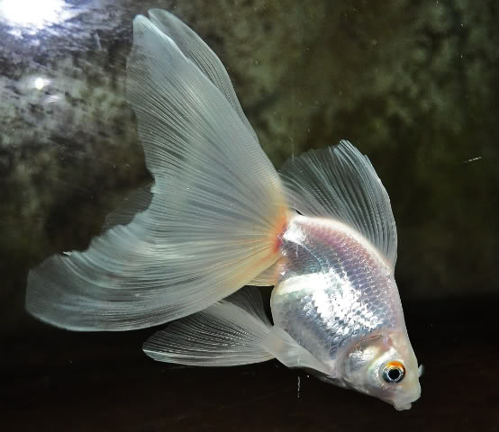 How to Distinguish a Fantail Goldfish From a Veiltail  Pets