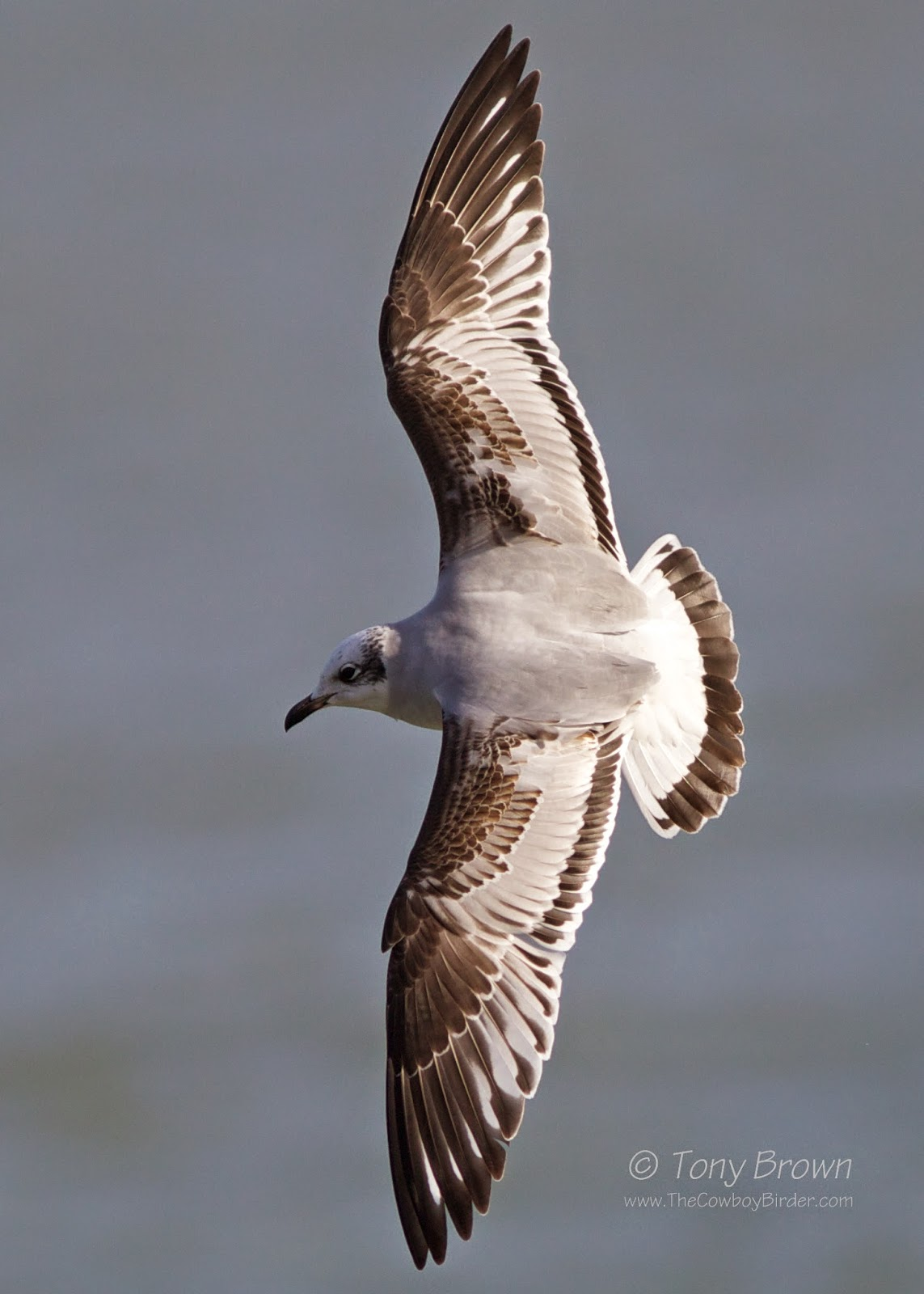1st-winter, Southend Pier, Med Gull, Flight