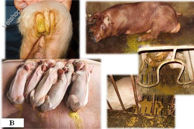 Hình 6: Hình ảnh các biểu hiện lâm sàng tại các ổ dịch PED ở các tỉnh phía Nam, Việt Nam.