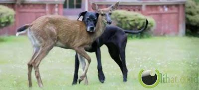 Pasangan Anjing Dan Rusa