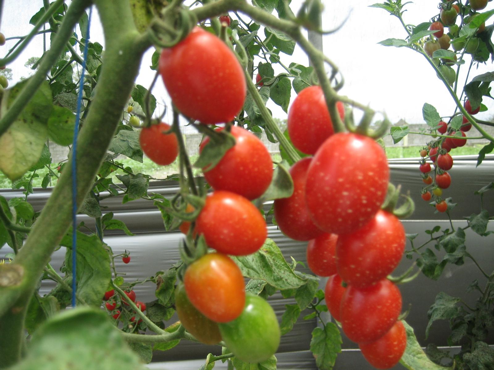 bagian tanaman yang digunakan sebagai obat adalah buahnya digunakan ...