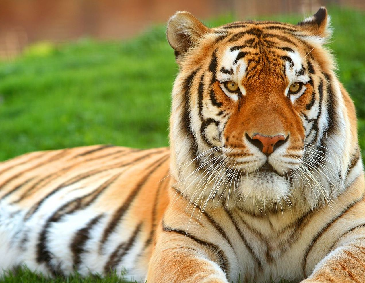 Beautiful Wallpaper High Resolution Tiger - Royal-Tiger  HD_346528.jpg
