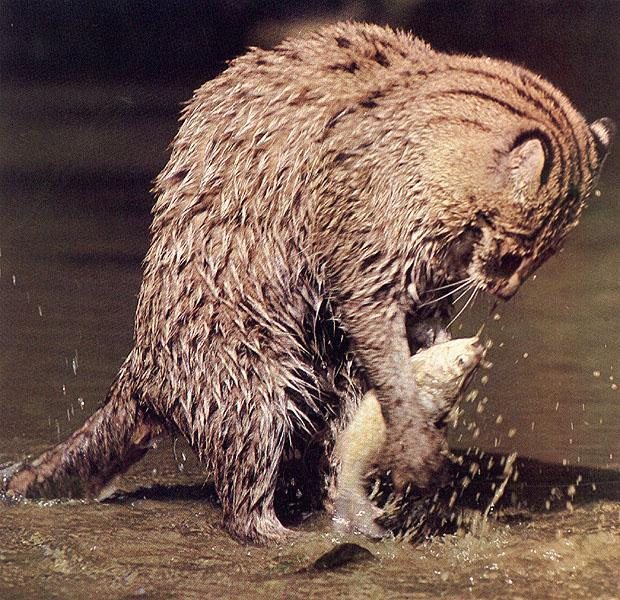 Fishing cat wildlife the wildlife for Fish video for cats