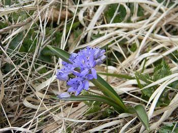 Scilla bifolia (Scilla silvestre)