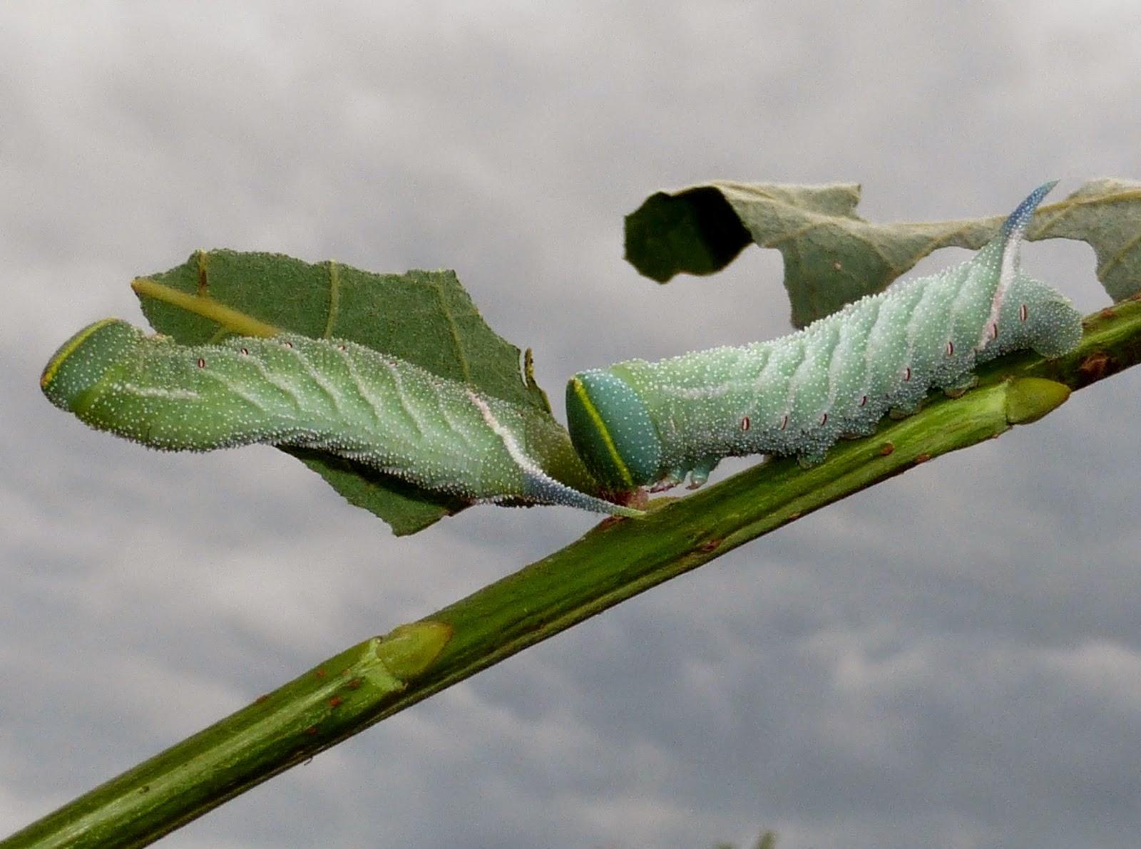 Smerinthus ocellata caterpillar L3