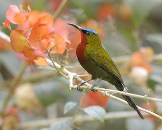 Gambar Burung Madu