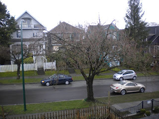 Cherry blossom tree, not yet in bloom, but touch of pink showing, rainy day