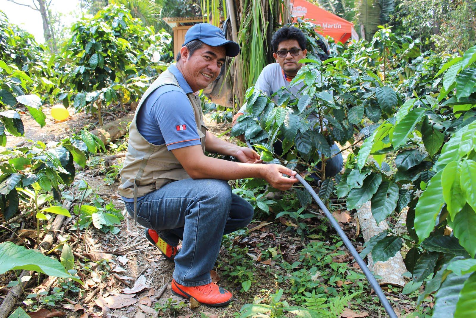 Instalan módulo de café con riego tecnificado en Comunidad de Balatal Localidad está ubicada en la