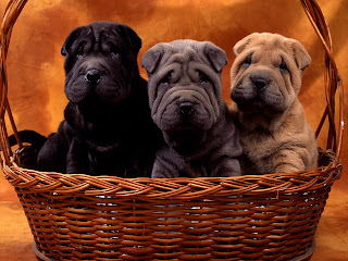 Shar Pei Puppy Picture