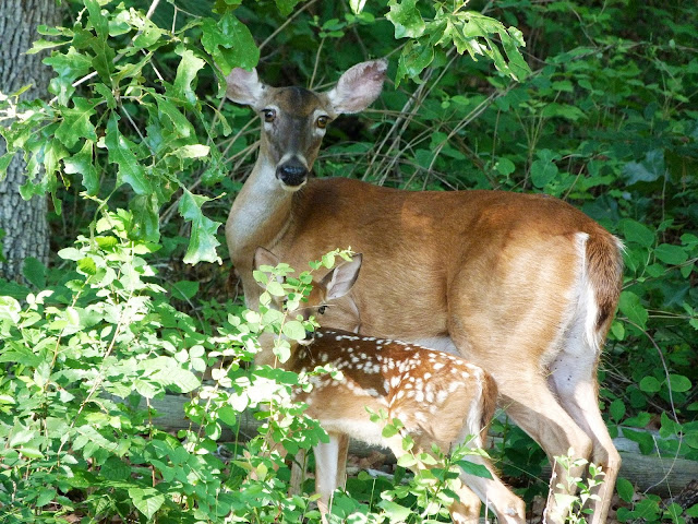 Deer and her fawn