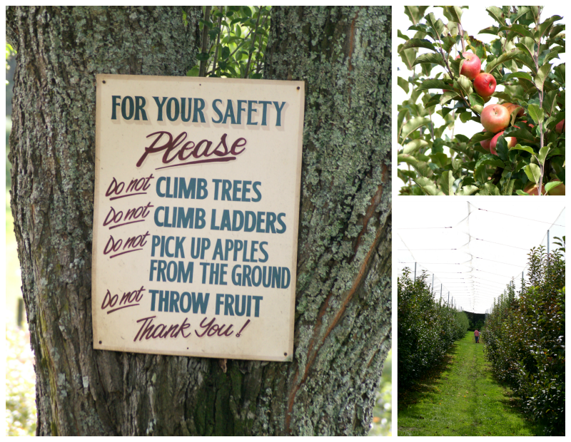 Apple Picking at Biplin Springs Orchard