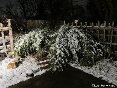 bamboo covered in snow, michigan, growing in cold climate, winter storm bamboo