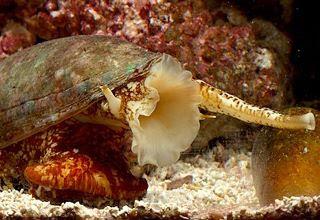 الحلزون المخروطي..من اخطر عشرة مخلوقات في العالم!