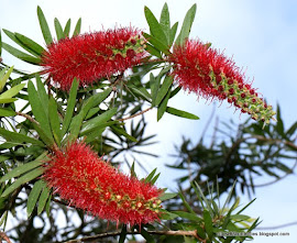 Bottlebrush Tree (Callistemon sp.) All year